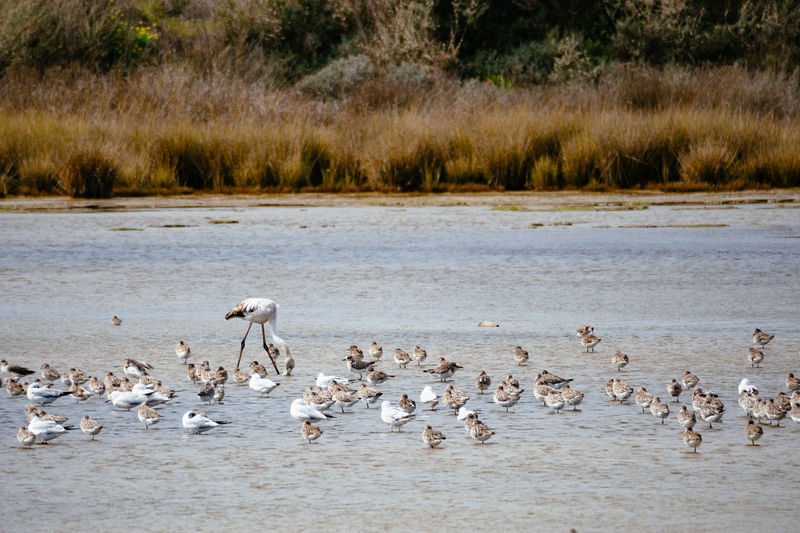 Birds in Ria Formosa national park Flock Of Birds Environment Animals In The Wild Animal Wildlife Lake Water Large Group Of Animals Ria Formosa Algarve National Park Portugal Flamingo Redshank Sandpiper Gull Wetland