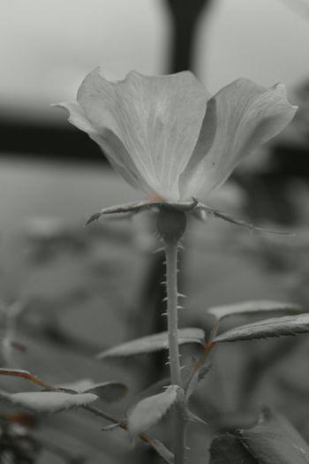 Roses Pink Rose Flowers Blackandwhite Blackandwhitephotography Nature Nature Photography North Carolina Ncnature