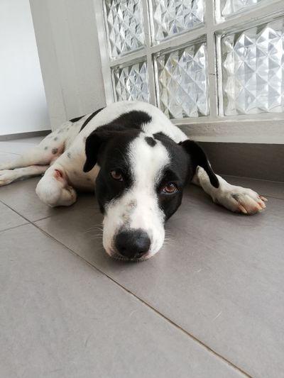 Beagle Pets