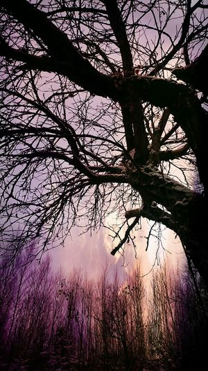 Bare trees against sky at sunset