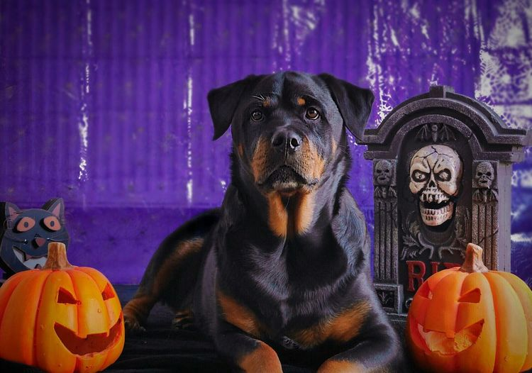 Portrait of dog in halloween setup