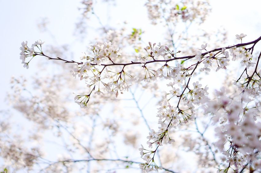 樱花🌸 Cherry blossoms Plant Tree Flowering Plant Blossom Flower Springtime Branch Cherry Blossom No People Sky Freshness Beauty In Nature Low Angle View Nature Outdoors Day