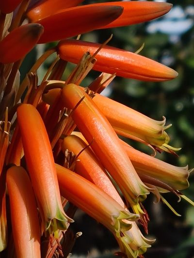 Close-up of red chili peppers