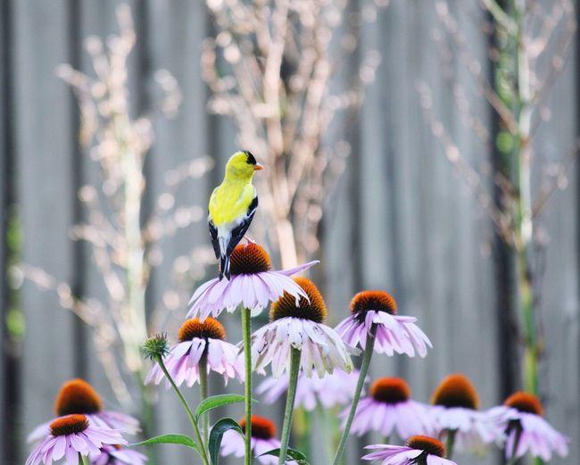 Close-Up Of Bird Perching On Purple Coneflower