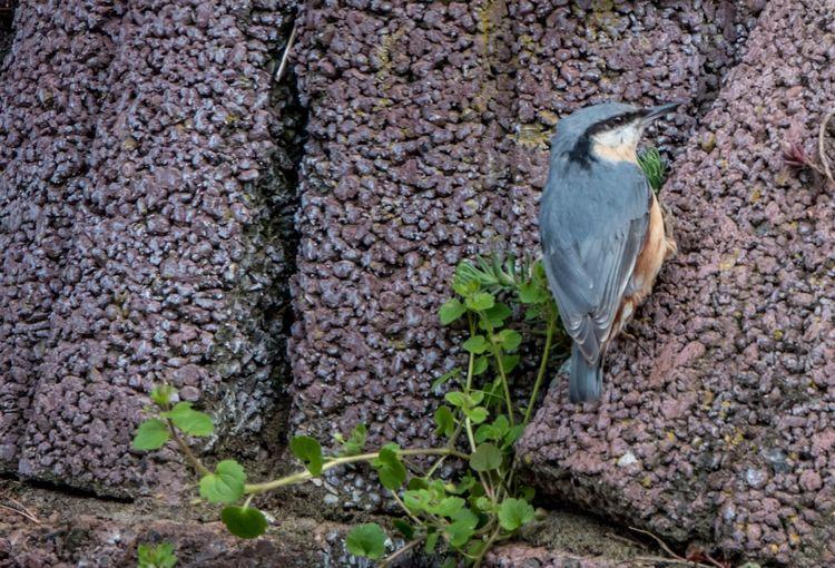 Kleiber Bird