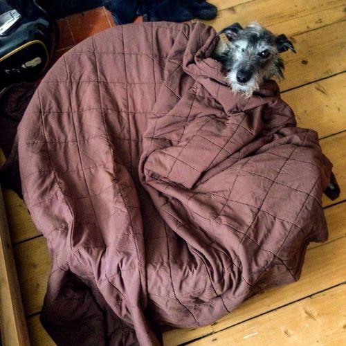 Hi! LEO... The One Eyed Lurcher... I Love My Dog Lurcher Sighthound Hampton Hill Hello World United Kingdom
