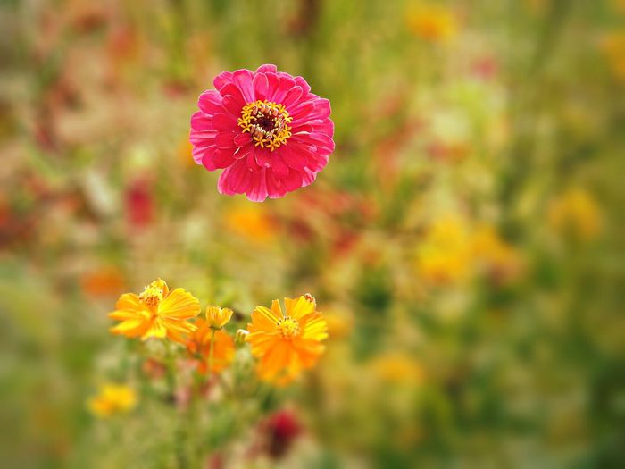Pink zinnia blooming on field