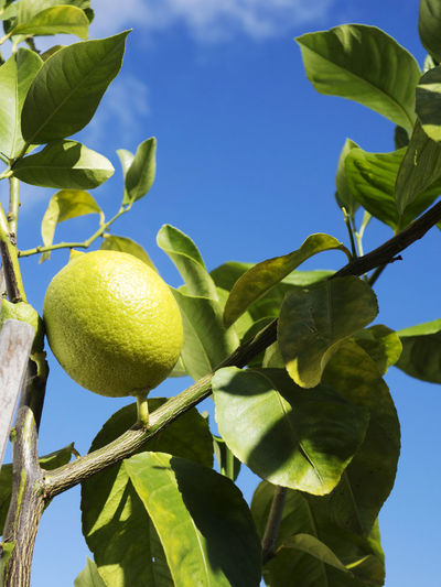 Lemon tree with fruit Citrus Fruit Food Food And Drink Freshness Fruit Fruit Tree Green Color Growth Healthy Eating Leaf Lemon Lemon Tree Low Angle View Low Hanging Fruit Nature No People Outdoors Plant Plant Part Ripe Sky Tree Wellbeing