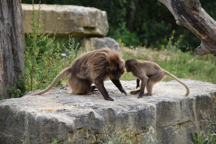 Gelada with infant on wall