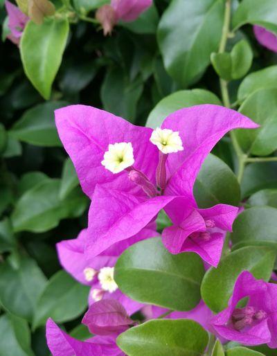 Bougainvillea Flower First Eyeem Photo Magenta Flower Flower Beauty In Nature