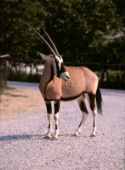 Full length of oryx standing on road