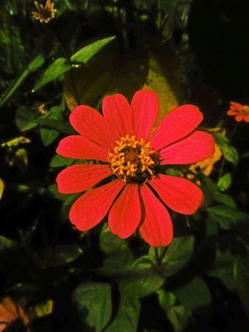 Thailand🇹🇭 Red Flower Banana Flower ดอกบานชื่น Flower Head Backgrounds Full Frame Green Color Plant Flower Leaf Growth