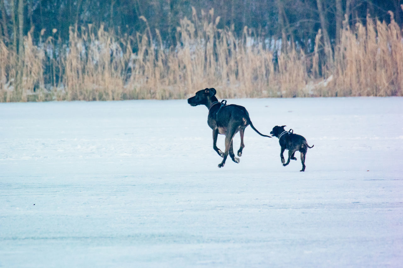 dog, domestic animals, pets, mammal, cold temperature, animal themes, winter, running, nature, snow, outdoors, no people, day, beauty in nature