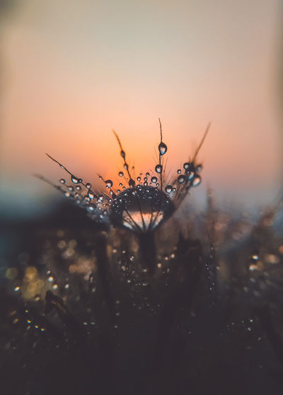 Close-up of dandelion flower against sky during sunset