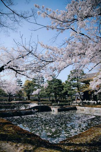 Temple Kyoto Sakura Sakura Trees Petals Pond Ancient Architecture