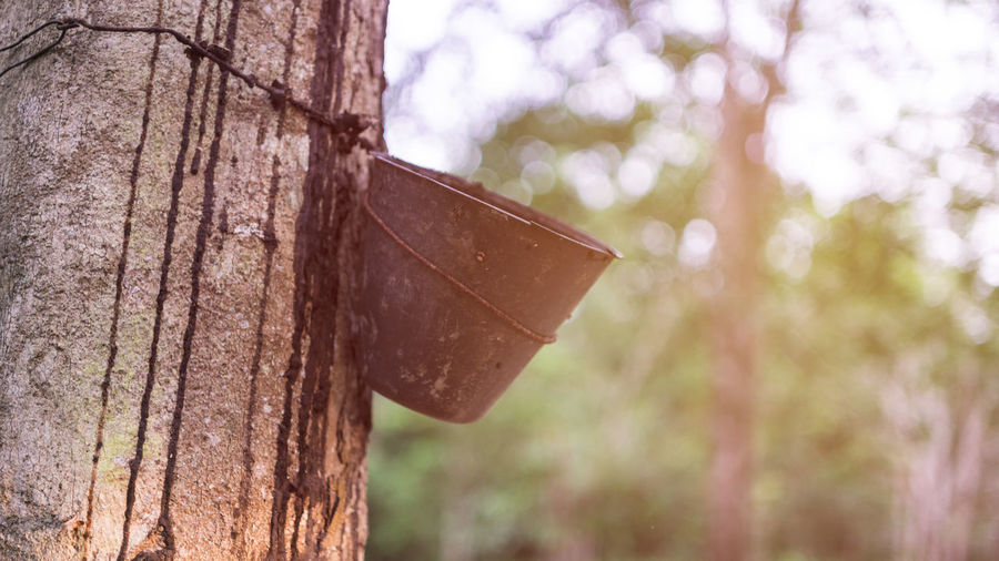 Close-up Day Focus On Foreground Nature No People Outdoors Rubber Milk Rubber Tree Tree Tree Trunk