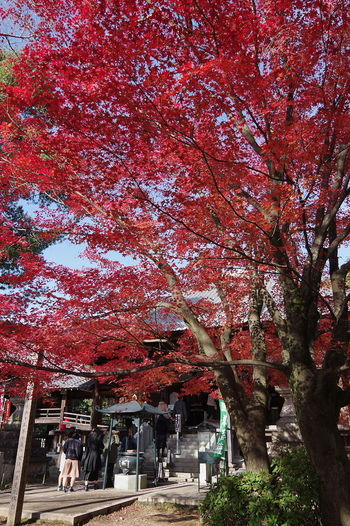 寂光院 犬山 もみじ寺 紅葉 紅葉🍁 Jakkoin Autumn Leaves Autumn🍁🍁🍁 Beauty In Nature Nature Nature Collection Nature Photography