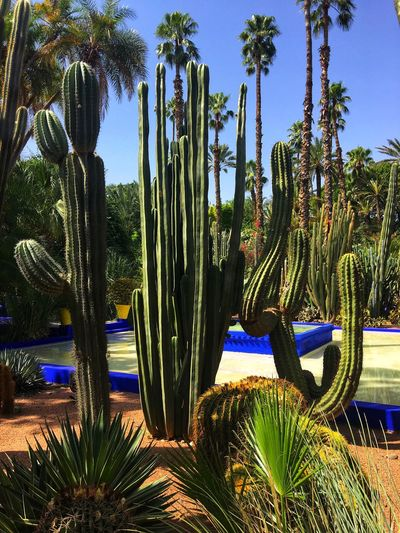 Jardin Majorelle Marrakech. Bleu Cactus Jardin Majorelle Palm Tree Yves Saint Laurent Bleu Majorelle Plant Growth Tree Nature No People Sunlight Cactus Succulent Plant Day Outdoors Blue Green Color Scenics - Nature