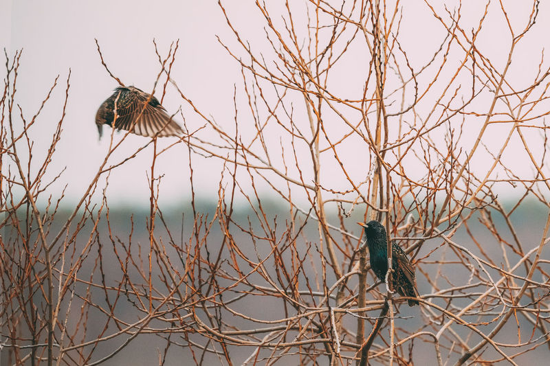 Two Wild Forest Birds Common Starling Sitting In Branch Tree In Spring Season. Belarus, Belarusian Nature, Wildlife Perching Bird Animal Branch Nature Tree Wild Forest Birds Starling Sitting Spring Belarus Belarusian Wildlife Day Plant Animal Themes