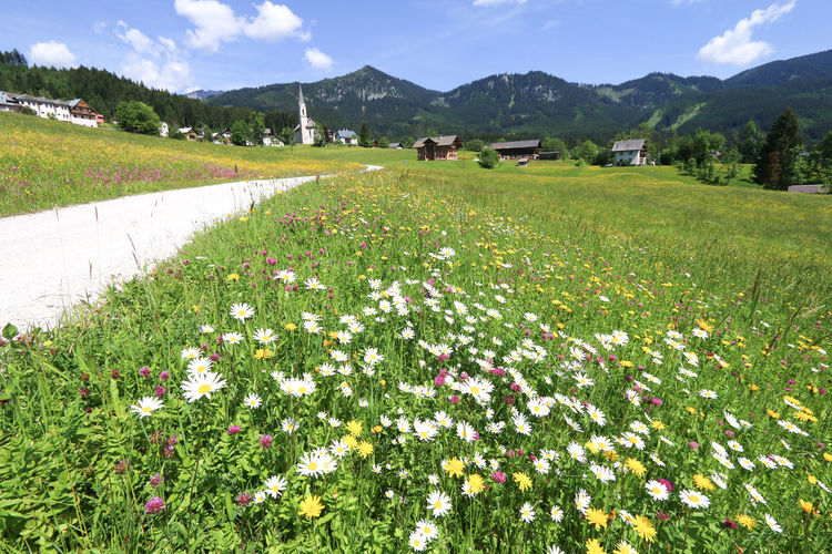 Meadow of flowers during spring season in Gosau village in Austria Austria Gosau Travel Beauty In Nature Europe Field Flowering Plant Flowers Grass Landscape Meadow Nature Plant Scenics - Nature Spring Town