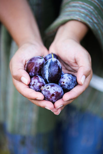 Plums Plums Plums Fruit Purple Happiness Food Human Hand Fruit Healthy Eating One Person Hand Freshness Human Body Part Holding Close-up Hands Cupped Real People Ripe Organic Finger Day Food And Drink Selective Focus Seasonal Autumn Harvest