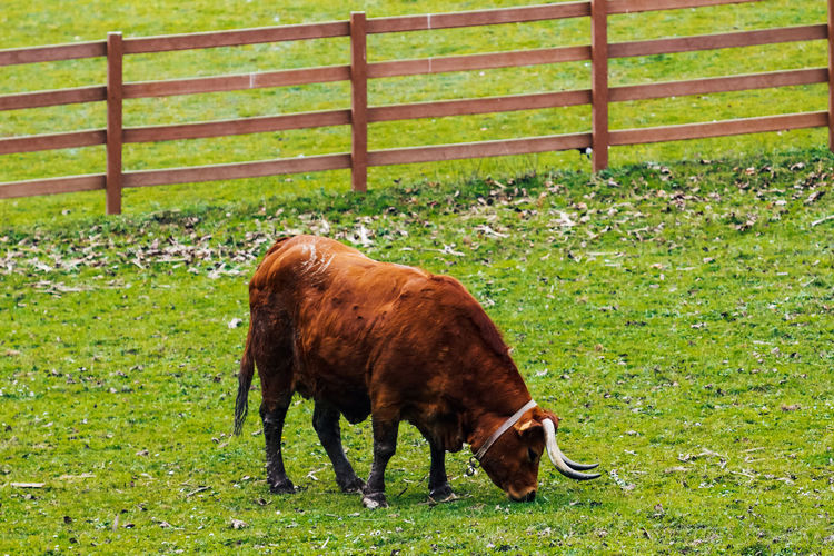 Animal Themes Livestock Animal Mammal Domestic Animals Domestic Field Pets Land Grass Vertebrate Cattle Grazing Agriculture One Animal Domestic Cattle Plant Nature Day Green Color No People Outdoors Herbivorous Cow Farm