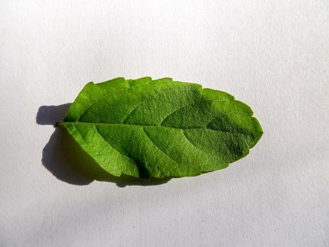 EyeEm Selects Tulsi Tulsi Leaf Herb Ayurveda Ayurvedic Medicine Tulasi  Leaf Green White Background Close-up Growth