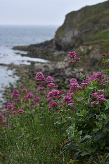 Pink flowering plants at beach against sky