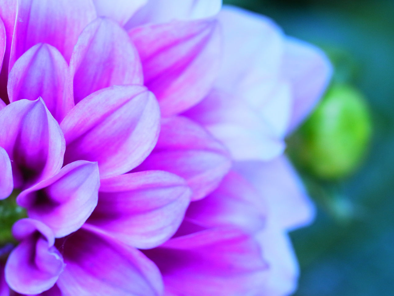 flower, flowering plant, petal, plant, freshness, close-up, beauty in nature, vulnerability, fragility, flower head, inflorescence, growth, pink color, no people, nature, day, focus on foreground, selective focus, outdoors, purple, bunch of flowers