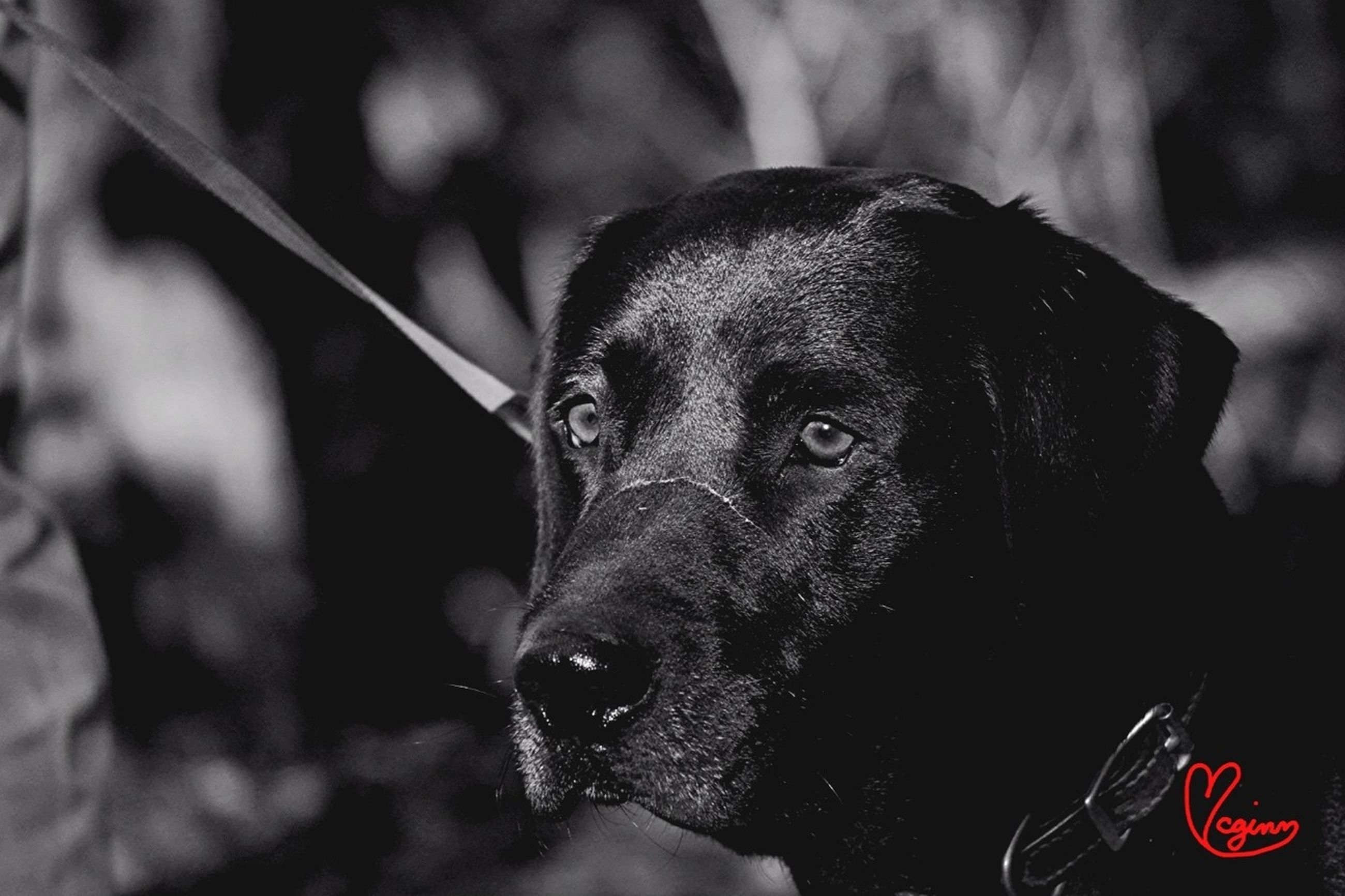 one animal, animal themes, dog, pets, focus on foreground, domestic animals, looking at camera, close-up, mammal, portrait, animal head, part of, black color, animal body part, one person, day, outdoors, pet collar, front view