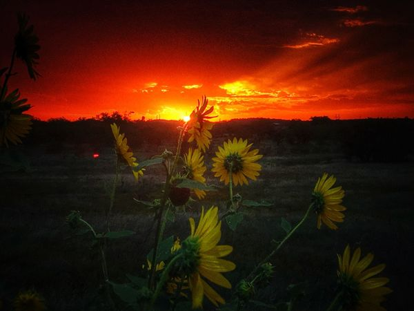 Sunflowers Dramatic Sky Texas Sunset Sunflower Texas Skies Texas Sky Texas Landscape Sunset_collection Sky_collection Nature_collection EyeEm Nature Lover Eye4photography  IPhone Eyeemphotography Copy Space Backgrounds Orange Sky Twilight Majestic EyeEm Sunset Cloud - Sky Sun Iphonephotography IPhoneography Sunset Orange Color Nature Flower Growth Beauty In Nature Outdoors Plant Field Silhouette No People Sky Freshness Fragility Flower Head Close-up Day Paint The Town Yellow The Week On EyeEm Lost In The Landscape Perspectives On Nature