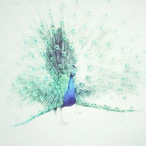 Peacock Abstract! Beautiful Peacock Art Abstract Peacock Vintage Animal Feather  EyeEm Nature Lover Art