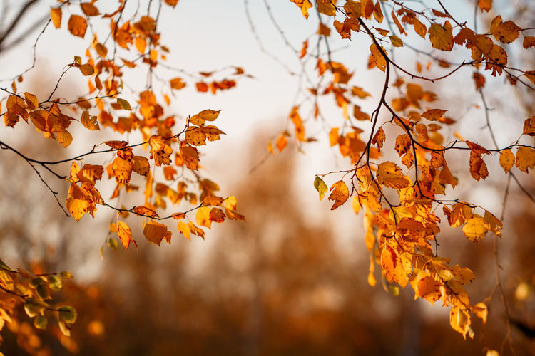 Autumn Change Plant Leaf Plant Part Orange Color Beauty In Nature Nature Focus On Foreground Growth No People Tree Close-up Selective Focus Branch Day Leaves Tranquility Yellow Outdoors Maple Leaf Natural Condition Autumn Collection Fall