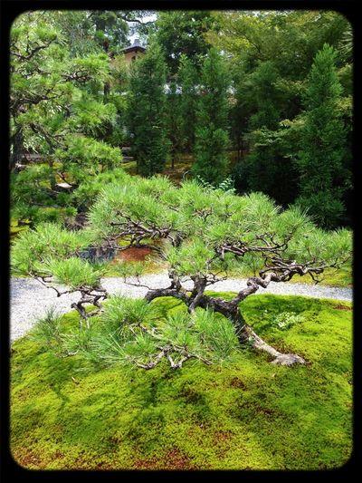 Pine Japanese Garden The Purist (no Edit, No Filter) Landscape