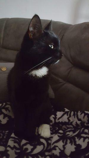 Cats Of EyeEm Catsoftheworld Cats Lovers  Cute Cats Cute Pets Mycat Blackandwhitecat Swedish Cat