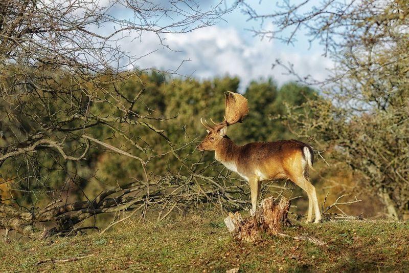 Buck Dunes Of Holland Fallow Deer Deer Animal Animal Themes Mammal Animal Wildlife Animals In The Wild One Animal Plant Nature Outdoors