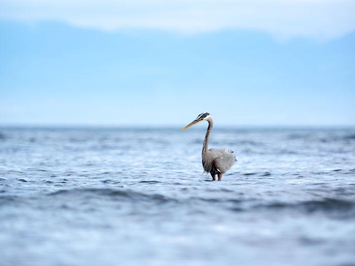 Gray heron standing in sea against blue sky