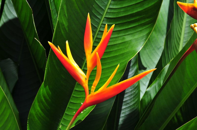 Strelizia, Crane Flower or Bird of Paradise plant. Costa Rica Beauty In Nature Bird Of Paradise Blooming Botany Close-up Crane Flower Detail Flower Flower Head Fragility Freshness Growing Growth Leaf Nature New Life Petal Single Flower Stamen Strelitzia White