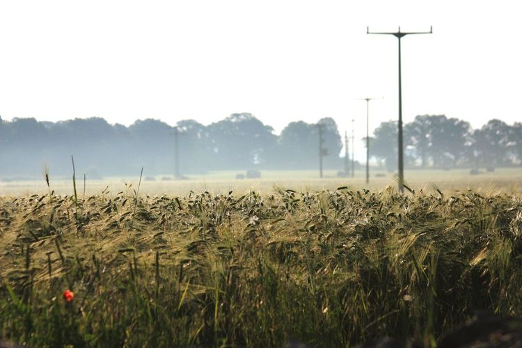 Agriculture Rural Scene Field Fuel And Power Generation Technology No People Day Growth Electricity  Nature Outdoors Foggy Morning Fog Cereal Plant Cereal Field EyeEm Best Shots EyeEm Best Shots - Nature Beaty In Nature Hiking Summer Vacation Agricultural Freshness Field