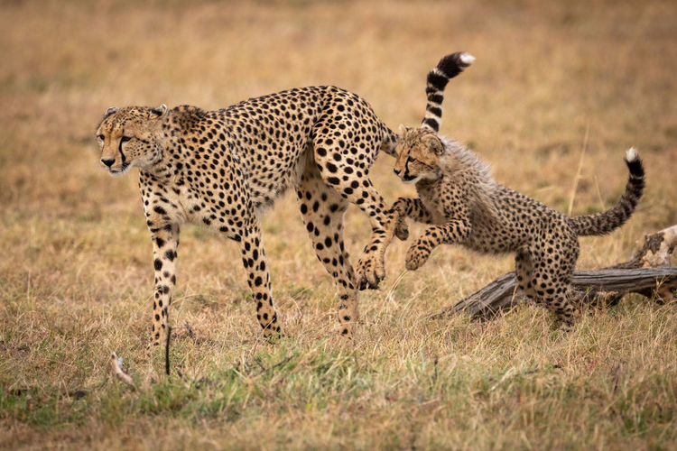 Full length of cheetahs running on field