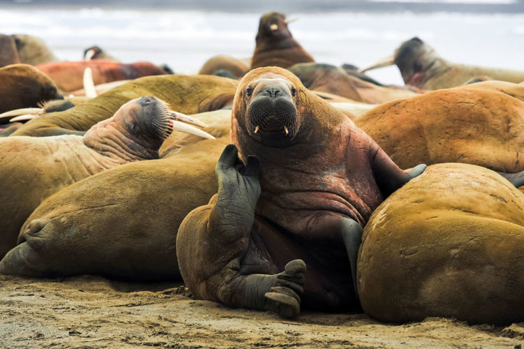 walrus Walrus Group Of Animals Animal Themes Animal Wildlife Sea Animals In The Wild Animal Mammal Beach Land Underwater Vertebrate Relaxation Focus On Foreground No People Nature Day Water Medium Group Of Animals Seal Sea Life Seal - Animal Marine Sea Lion Outdoors Mouth Open