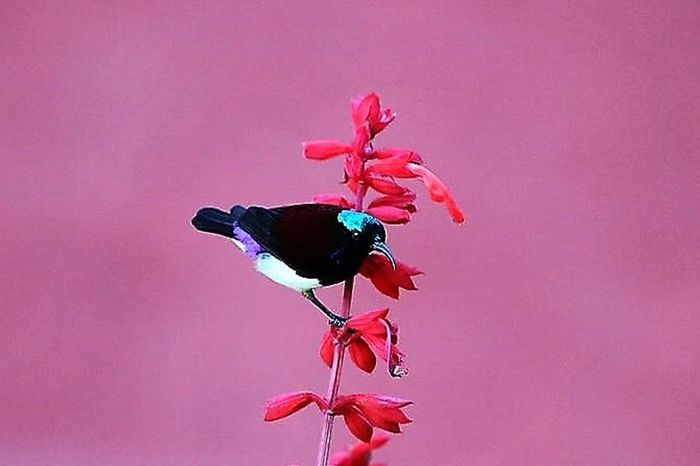 Early Morning Bird Astrology Sign Bird Mike Birds Close-up Colored Background Day Flower Flower Head Fragility Freshness Indian Bird No People Outdoors Petal Pink Background Pink Color