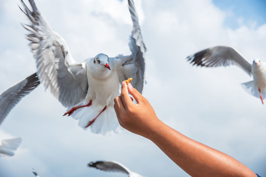 seagulls in action is flying on the sky with cloud,It is hovering food. Bird Flying Vertebrate Animal Wildlife Animals In The Wild Human Hand Hand Spread Wings Real People Seagull One Person Human Body Part Feeding  Focus On Foreground Day Nature Eating Outdoors Finger Human Limb
