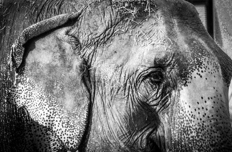 Elephant One Animal Close-up Mammal Animal Themes Domestic Animals Strength No People Day Outdoors Circus Animal Head  Sad Eyes Not Free Blackandwhite Black And White Bnw Portrait Animal Animal Portrait Asian Elephant Check This Out Animal In Captivity EyeEm Gallery Malephotographerofthemonth