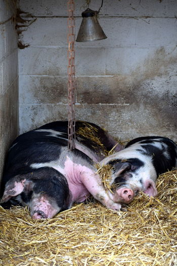 Animal Animal Themes Farm Mammal Pig Resting