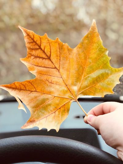 Close-Up Of Hand Holding Maple Leaf In Car During Autumn
