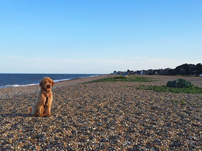 Poppy on the beach Goldendoodles Dog Puppy First Eyeem Photo