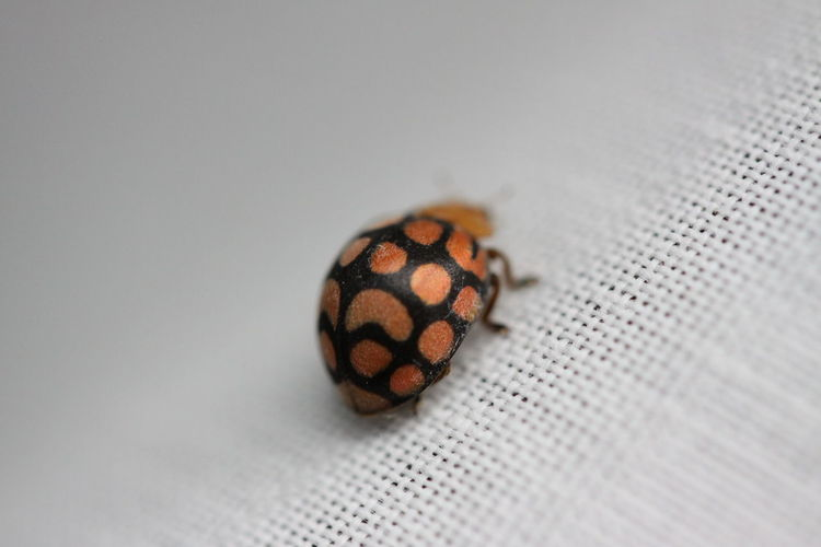Animal Themes Animal One Animal Animal Wildlife Close-up Insect Animals In The Wild Invertebrate No People Textile Indoors  Selective Focus Gray Full Length Pattern Studio Shot Spotted Beetle Animal Markings Animal Wing