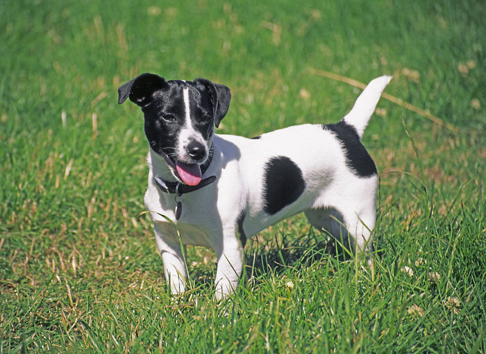 Black and white Jack Russell terrier puppy standing in a green field Jack Russell Terrier Standing Animal Black And White Dog Day Docked Tail Dog Outside Pet Pup Puppy
