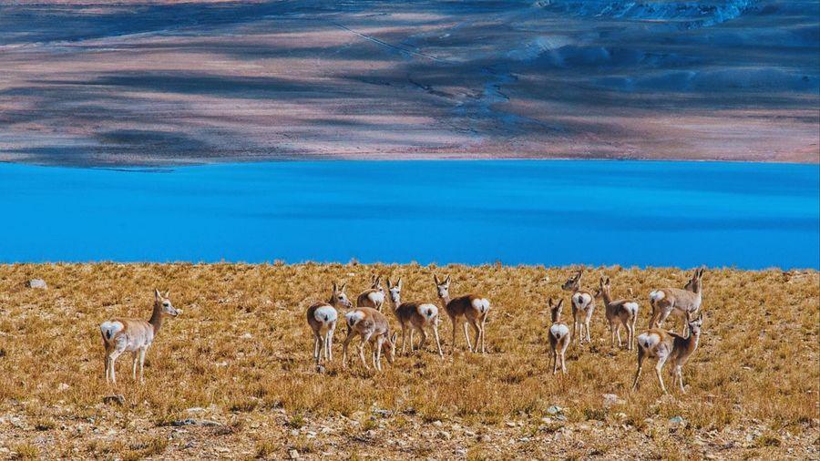 Tibetan gazelles on the lakeside in tibet